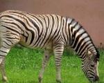 Зебра приедет в зоопарк Балахны
